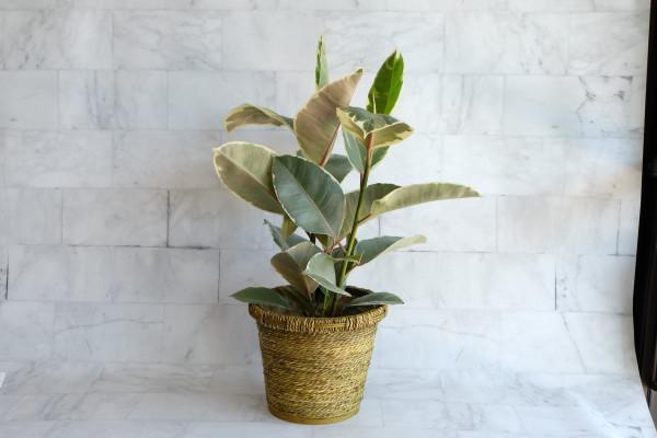 Variegated Rubber Plant Ficus Elastica