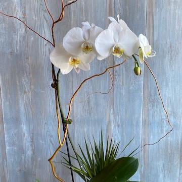 White Orchid Dish Garden