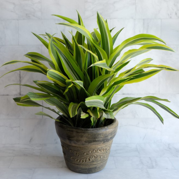 Lemon Lime Dracena