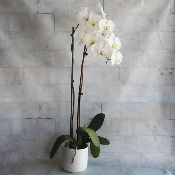 Double White Phalaenopsis